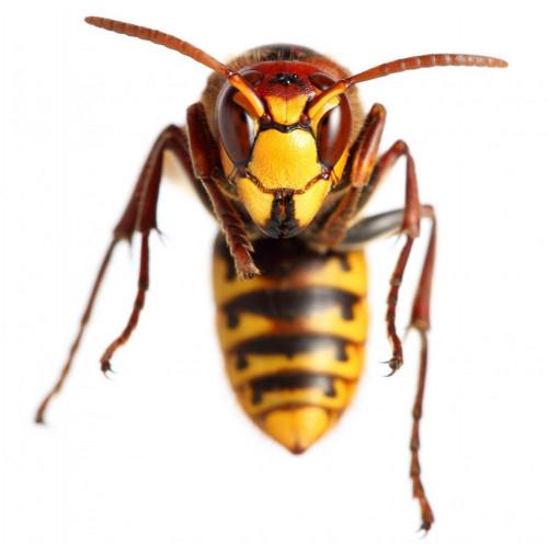 gift til hvepse